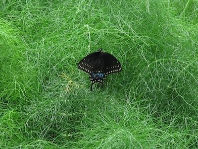 butterfly on fennel