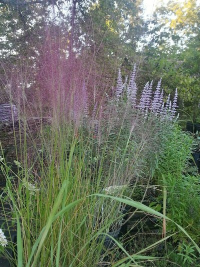 ornamental-grass 2