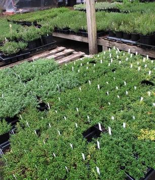 Thyme Varieties